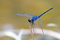 Dragonfly, Dragonflies of Thailand Trithemis festiva. Dragonfly rest on green grass leaf stock images