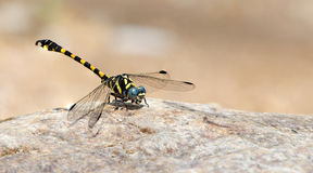 Dragonfly, Dragonflies of ThailandParagomphus capricornis. Dragonfly, Dragonflies of Thailand Paragomphus capricornis , Dragonfly rest stone royalty free stock images