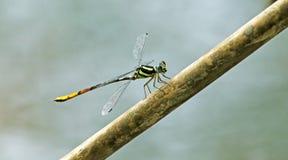 Dragonfly, Dragonflies viridatum Таиланда Rhinagrion стоковое фото rf