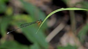 Dragonfly, Dragonflies vittata Таиланда Copera Стоковое Изображение