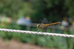 Dragonfly. Sits on a harness royalty free stock photography
