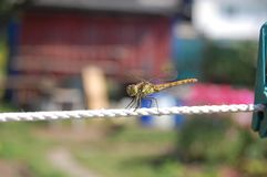 Dragonfly. On a thread royalty free stock photo