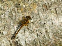 dragonfly drewno Zdjęcie Stock
