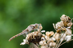 Dragonfly on a Dried Flower Stock Images