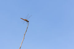 Dragonfly on dried tree branch Royalty Free Stock Photography