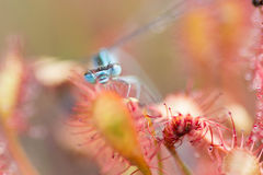 Drosera intermedia damselfly. Little plant drosera intermedia in nature with a dragonfly royalty free stock image