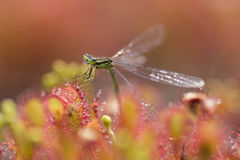 Drosera intermedia damselfly. Little plant drosera intermedia in nature with a dragonfly royalty free stock images