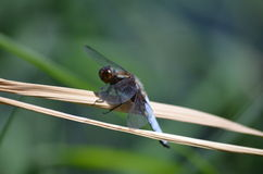 Dragonfly. On a dry branch cane Royalty Free Stock Photography