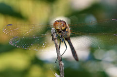 Dragonfly on a dry branch Royalty Free Stock Photos