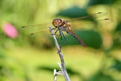 Dragonfly on a dry branch, green background Stock Photo