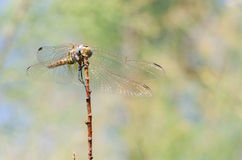 Dragonfly on dry branch III stock photo