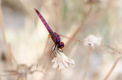 Dragonfly on dry branch Royalty Free Stock Photos