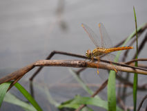 The Dragonfly on dry leaves. Royalty Free Stock Images