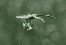 Dragonfly on dry plant Stock Image