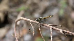 Dragonfly on dry twig. Dragonfly on dry twig with blur nature background stock video footage