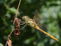 A dragonfly on a dry twig Royalty Free Stock Photography