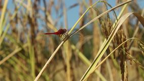 Dragonfly with ears of corn stock video