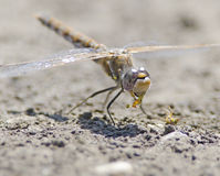 Dragonfly Eating Stock Photo