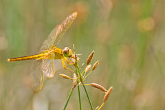 Dragonfly eating Stock Photography