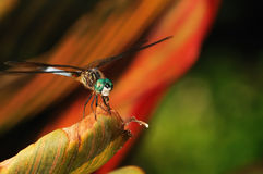 Dragonfly Eating Royalty Free Stock Images
