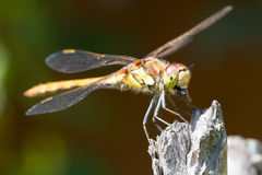 Dragonfly eating. Common darter in sunlight sitting on a twig eating a fly stock photo
