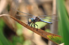 Dragonfly eating a fly Stock Photography