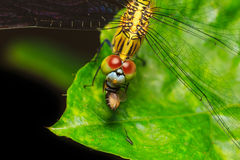 Dragonfly eating fly on green leaf Stock Images