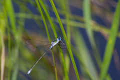 Dragonfly eats Royalty Free Stock Images