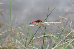 Dragonfly. On the edge of a pond in the countryside Royalty Free Stock Photography