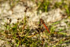 A dragonfly enjoying the sun. A dragonfly in nature enjoying the sun in the dune area of Schoorl Royalty Free Stock Images