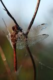 Dragonfly entirely covered with dew Royalty Free Stock Photo