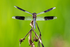 Dragonfly Royalty Free Stock Photo