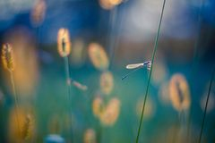 Dragonfly in evening light in his natural habitat Royalty Free Stock Photos