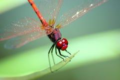 dragonfly eyes красный цвет Стоковые Фотографии RF