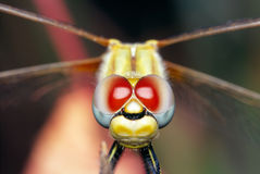 Dragonfly Eyes Stock Photos