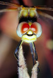 Dragonfly Eyes Stock Photo