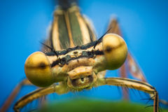Dragonfly eyes closeup Stock Images