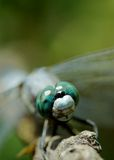 Dragonfly Eyes Royalty Free Stock Image