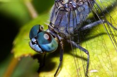 Dragonfly face Stock Photography