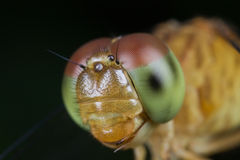 Dragonfly face front view Royalty Free Stock Photos