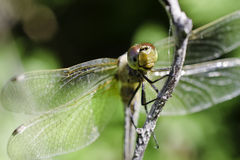 Dragonfly Face MACRO Royalty Free Stock Images