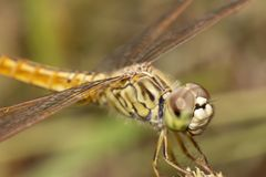 Closeup dragonfly face, macro insect royalty free stock image
