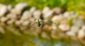 Dragonfly face to camera. Dragonfly in action looking at camera Royalty Free Stock Photo