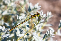Dragonfly family Lucky lat.Lestidae Stock Photography
