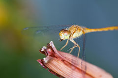 Dragonfly Feeding. Macro of a dragonfly sitting on a day lily eating a small fly Royalty Free Stock Images