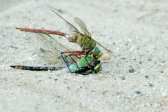Dragonfly feeding on its own close up macro Royalty Free Stock Photography