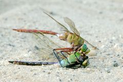 Dragonfly feeding on its own close up macro Stock Images