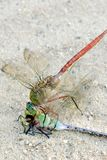 Dragonfly feeding on its own close up macro Stock Photos