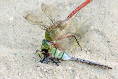 Dragonfly feeding on its own close up macro Royalty Free Stock Image