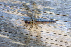 Dragonfly Female Common Darter royalty free stock photos